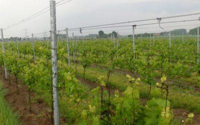 Wijngaarden Lopen Weer Mooi Uit